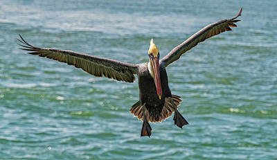 Photograph - Pelican In Flight by Jim Vallee