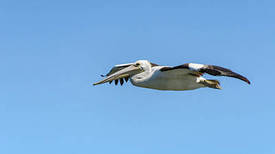Photograph - Pelican In The Air by Merrillie Redden
