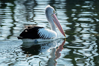 Pelican On The Lake Art Print
