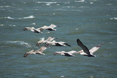 Photograph - Pelicans On The Bay by Lynda Anne Williams