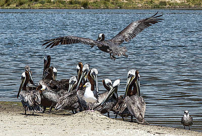 Wall Art - Photograph - Pelicans With Seagull Friends At Malibu Lagoon by Roslyn Wilkins
