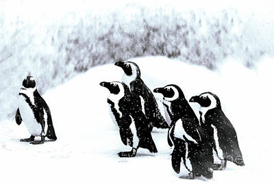 Photograph - Penguins In Snow by Elaine Manley