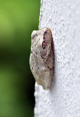 Photograph - Penny The Tree Frog by William Tasker