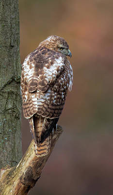 Wall Art - Photograph - Perched Red-tailed Hawk by Martin Belan