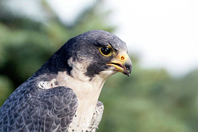 Photograph - Peregrine Falcon by Rick Veldman