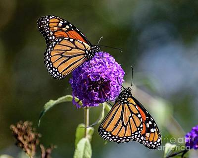 Angels And Cherubs - Perfect Pair Of Monarch Butterflies by Cindy Treger