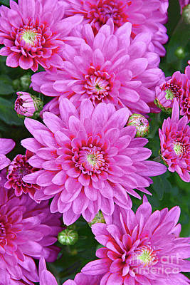Royalty-Free and Rights-Managed Images - Perfectly Pink Chrysanthemum PhotoArt by Regina Geoghan