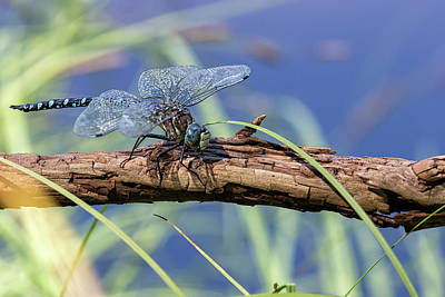 Photograph - Peril And Rescue For A Dragonfly, Safe by Belinda Greb