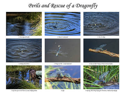 Photograph - Perils And Rescue Of A Dragonfly by Belinda Greb
