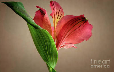 Photograph - Peruvian Lily by Susan Warren