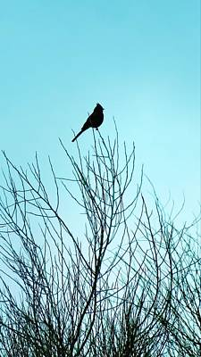 Photograph - Phainopepla On Palo Verde by Judy Kennedy