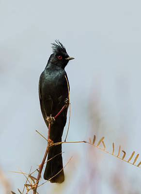 Photograph - Phainopepla Perched by Loree Johnson