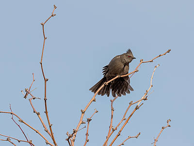 Photograph - Phainopepla Stretch by Loree Johnson