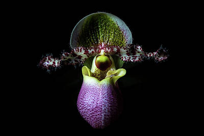 Photograph - Paph by Cyndy Doty