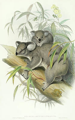 Koala Wall Art - Painting - Koala by John Gould