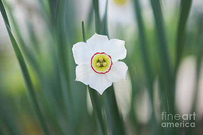 Photograph - Pheasant Eye Daffodil by Tim Gainey