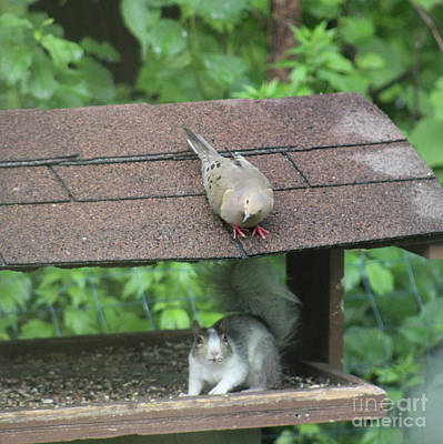 Photograph - PieBald Squirrel in White and Grey with Dove Above by Julie Kindt