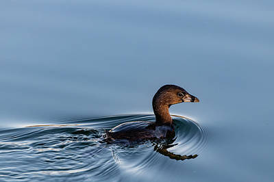 Photograph - Pied-billed Grebe by Douglas Killourie
