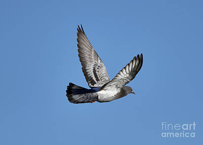 Photograph - Pigeon Flying by Robert WK Clark