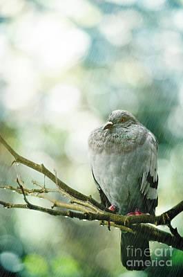 Photograph - Pigeon by Jelena Jovanovic