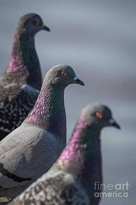 Photograph - Pigeon Pals. by David Cutts