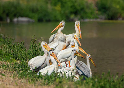 Photograph - Pile Of Pelicans by Loree Johnson