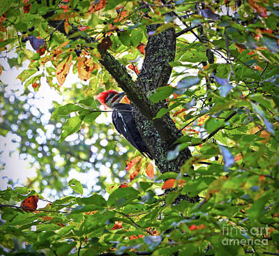 Photograph - Pileated Woodpecker by Kerri Farley