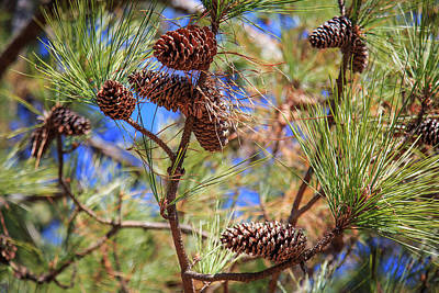 Photograph - Pine Cones On A Tree Limb by Doug Camara