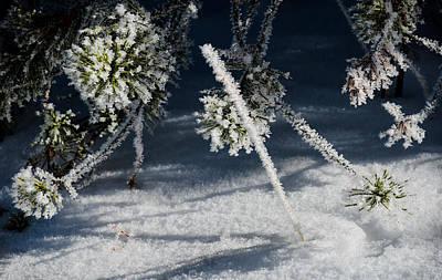 Photograph - Pine In Winter by Karen Wiles