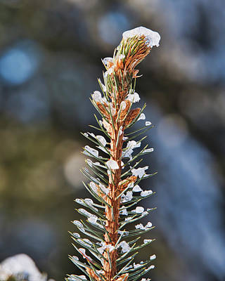 Photograph - Pine Tree Tip II by Steven Ralser