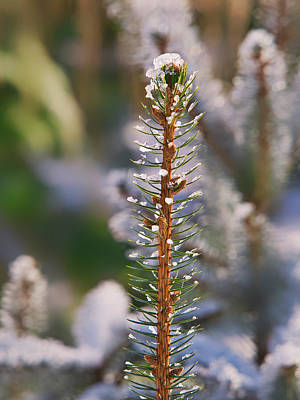 Photograph - Pine Tree Tip I by Steven Ralser