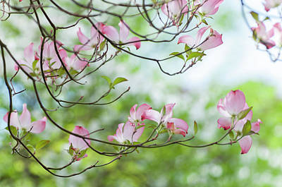 Photograph - Pink And Mint Green Of Dogwood Blooms by Jenny Rainbow