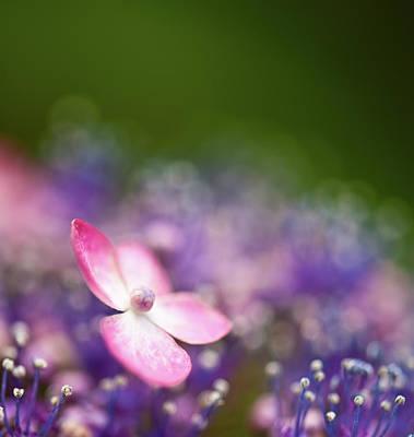 Pink And Purple Hydrangeas Art Print by Nazra Zahri