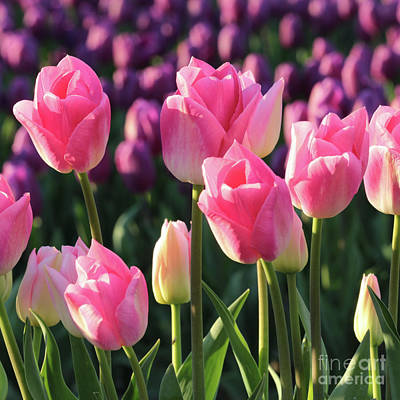 Photograph - Pink And Purple Tulips Square by Carol Groenen