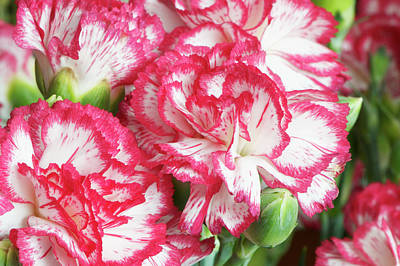Photograph - Pink And White Carnation by Sharon Talson