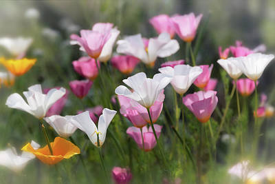 Photograph - Pink And White Spring Poppies  by Saija Lehtonen