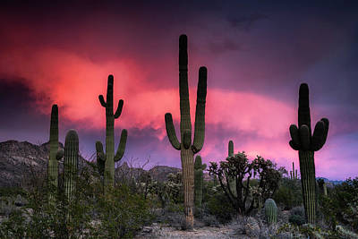 Photograph - Pink And Purple Saguaro Sunset  by Saija Lehtonen