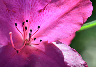 Photograph - Pink Azalea In Full Bloom by Bruce Gourley