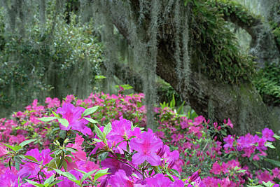 Photograph - Pink Azaleas And Oak Tree Draped In Moss by Bruce Gourley