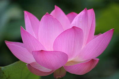 Green Color Photograph - Pink Backlit Lotus - Largest Collection by Narcisa