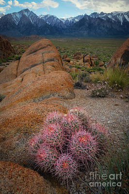 Photograph - Pink Barrel Cacti  by Michael Ver Sprill