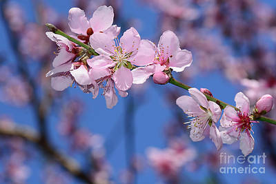 Photograph - Pink Blossoms On Spring Bokeh By Kaye Menner by Kaye Menner