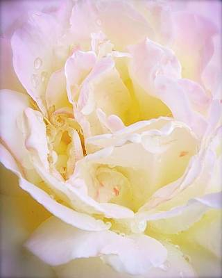 Photograph - Pink Blush Rose by Flying Z Photography by Zayne Diamond