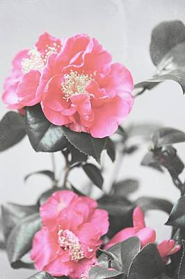 Photograph - Pink Camellia. Shabby Chic Collection by Jenny Rainbow