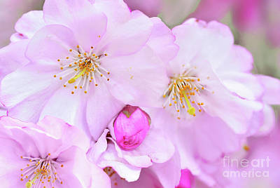 Royalty-Free and Rights-Managed Images - Pink Cherry Blossoms and Buds by Regina Geoghan