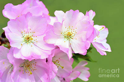 Royalty-Free and Rights-Managed Images - Pink Cherry Blossoms on Green by Regina Geoghan