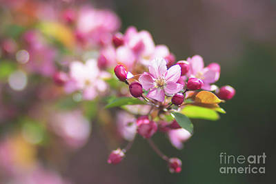 Photograph - Pink Crabapple by Sheila Skogen