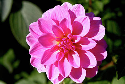 Photograph - Pink Dahlia In Greenwich Park by Aidan Moran