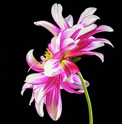 Photograph - Pink Dahlia Profile by Jean Noren
