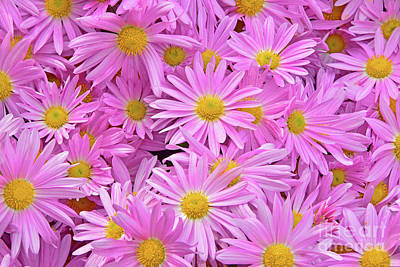 Royalty-Free and Rights-Managed Images - Pink Daisy Chrysanthemums 1 by Regina Geoghan